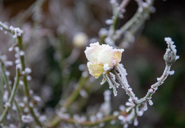 keř s květinou v mrazu